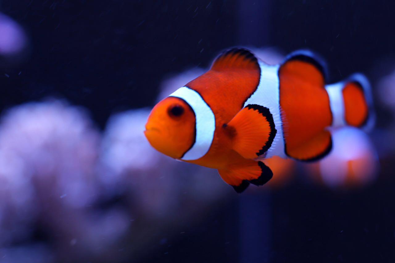 小丑鱼2.jpg