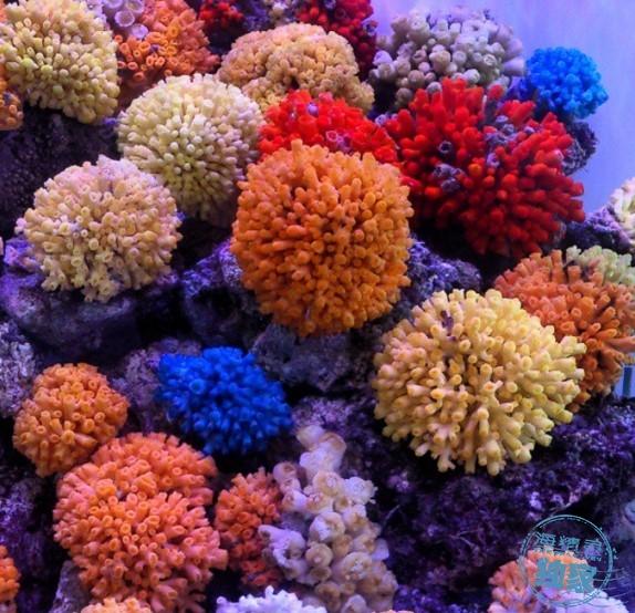 cladocora-eguchipsammia-persian-gulf-azoox-coral-5 (2).jpg